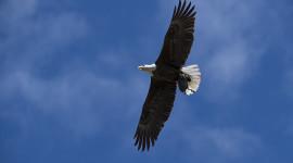 Nesting Bald Eagle Pair